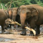 Elephants at Pinnawala
